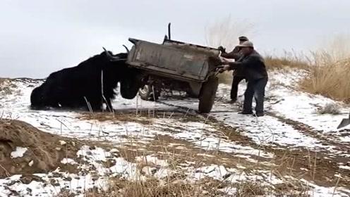 村长的拖拉机跑偏了,直接赶来一头老牛帮忙,效率简直倍增,真聪明啊!