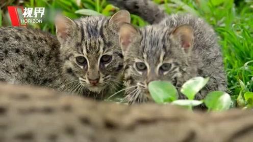 实拍野生渔猫教幼崽捕食 用胡须感知水面震动无饵钓鱼