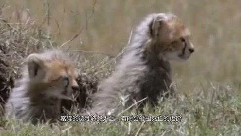动物界最疯狂霸主,拳打狮虎豹,智斗狐狸,活着就是为了打仗!