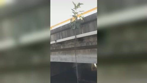 太顽强!榕树在大桥边沿顽强生存,无土之木长出5米根须风中摇摆