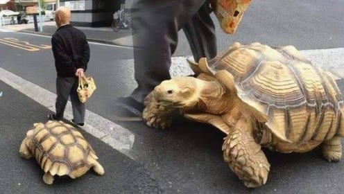 现实版龟仙人!日本老人养巨型乌龟,当传家宝肯定能传几代人