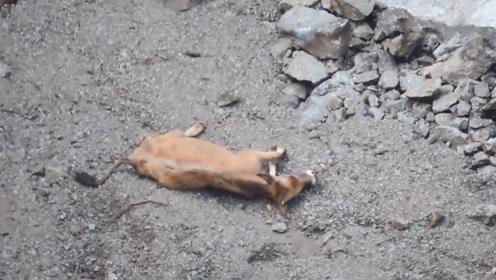 老黄牛一脚踩空,连续撞壁掉下百米悬崖,接下来默默心疼它三秒钟