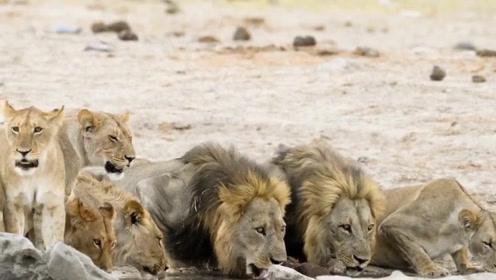 小狮子常排在进食顺序最末,这个狮爸爸却让幼崽先吃