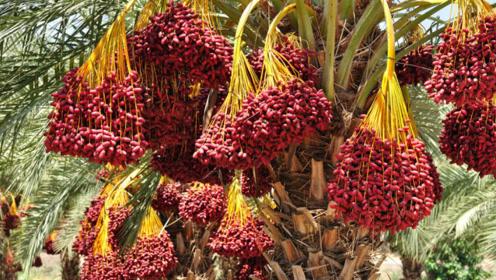 迪拜土豪都爱吃的水果,唯独一个缺点,传入中国后却无人问津!