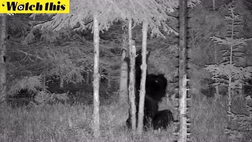 爆笑!深夜丛林黑熊独自对着树跳钢管舞 舞姿妩媚撩人