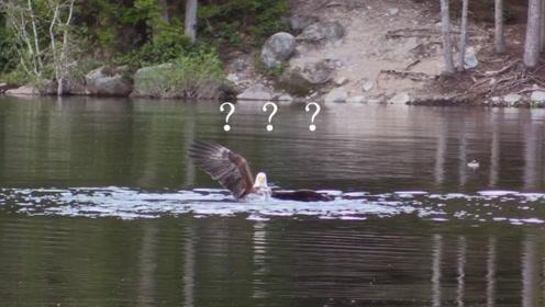 被鸭子一顿毒打的老鹰,就因为想抓鸭宝宝,被母鸭摁到水里揍