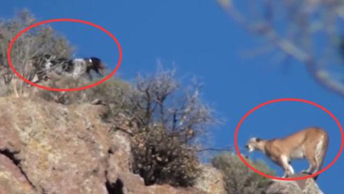 3只猎犬胆大包天,悬崖边捕猎一头美洲狮,狮子:狮落悬崖被犬欺!