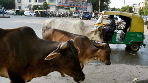 印度又一动物泛滥,3亿多头在街上乱走却不能吃,当地人快愁哭了