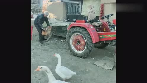东北农村老头一手一只鸡,这是要准备杀鸡,女儿还问就杀两个吗!