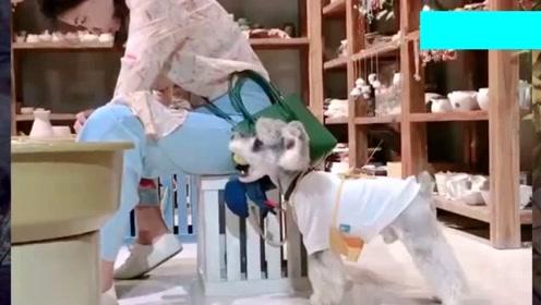 当可爱小巧的雪纳瑞碰见这样的主人会发生什么?网友:我也好想养一只!
