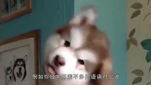 狗狗想你歪头是什么意思?单纯的卖萌还是想传达什么?