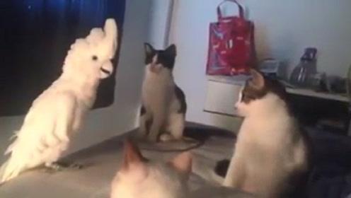 鹦鹉学会猫叫后跟三只猫吵架,千万憋住别笑,镜头拍下搞笑瞬间