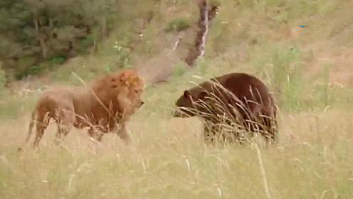 狗熊觅食误闯狮子底盘,狮子看到后直接冲了过去,二者打架谁能胜出?