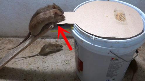 哪个缺德发明的水桶捕鼠器,原理简单,抓老鼠太狠了!