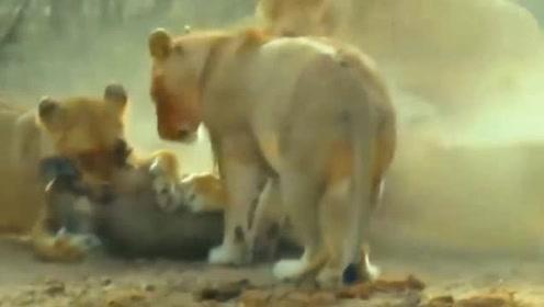 花豹捕猎技术多厉害,看完视频就明白了,疣猪口中抢夺幼崽