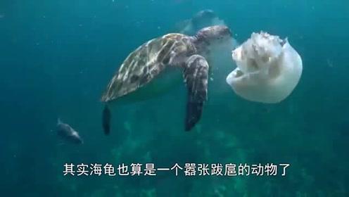 海螺被海龟欺负后,转身就把海胆给吃了,海胆:我招谁惹谁了?
