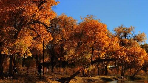 """全球""""最古老""""的原始胡杨林,在新疆,面积达47万亩"""