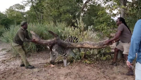 斑马铁丝被困住,两男子却搬起了枯树干,他们是想干什么?