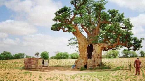"""非洲出了一种""""万能树"""",不仅能解决吃喝问题,还能住"""