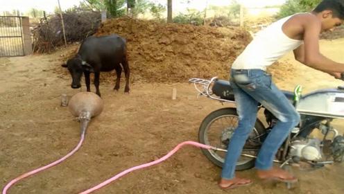 给摩托车排气管接上喇叭后威力有多大?可怜了这头公牛
