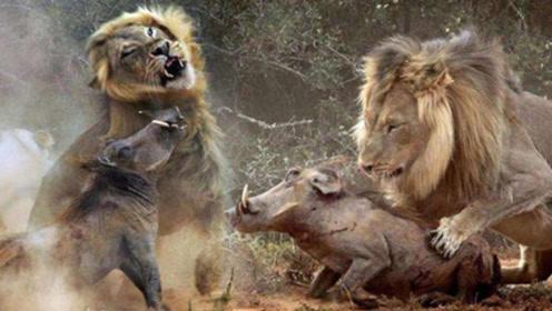"""300公斤的野猪碰到""""草原霸主""""狮子,谁更胜一筹?看完解开疑惑"""