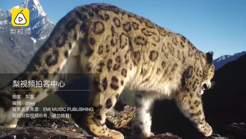 极其罕见!四姑娘山首次拍到野生雪豹,嗅探镜头留下气味标记