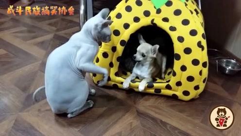 """主人带回来一只""""无毛猫"""",吉娃娃总找茬,猫:削你啊"""