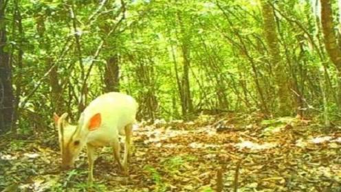 神农架森林出现神奇的白色新物种,翩翩起舞在林间蹦跳,动物学家都惊奇不已