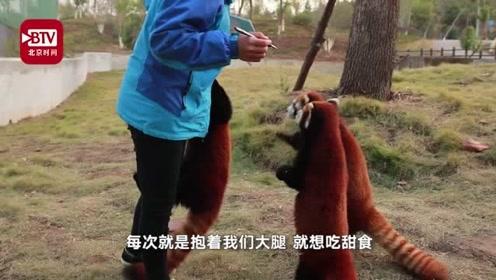 萌翻!小熊猫粘着饲养员要甜食吃 不给就抱大腿