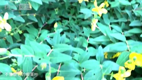 农村形似元宝的野草,还是非常实用的中药材,对身体大有好处!