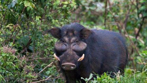 猪的战斗力那么弱,是如何从进化法则中生存下来的?猪:我有后台