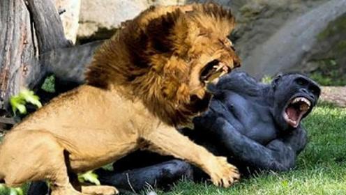 银背大猩猩和狮子打架,谁会第一个倒下?结果出乎意料!