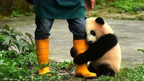 当熊猫饲养员到底是一种什么体验?听听过来人怎么说