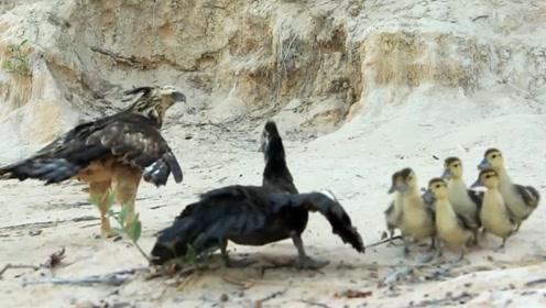 老鹰欲捕食小鸭,却惨遭母鸭暴打,下一秒怀疑鹰生