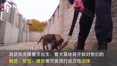 """萌翻!北京警方公开克隆警犬""""成长记"""",4个月大达超前能力水平"""