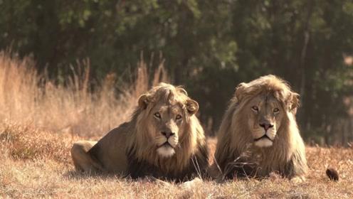 世界上最具挑战性的民宿,被77只狮子包围,晚上能睡得好吗?
