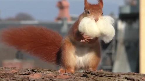 """小松鼠趁着天气好,叼着""""被子""""拿出来晒,镜头拍下搞笑一幕"""