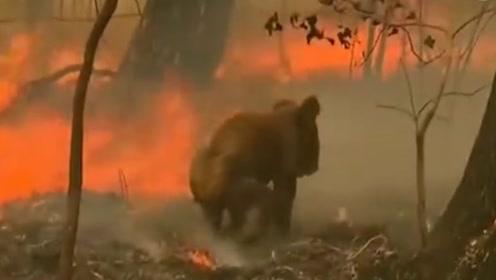 澳大利亚林火肆虐  小考拉被困火场叫声令人心疼