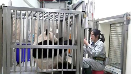 大熊猫团团也要减肥 仰卧起坐练到叹气