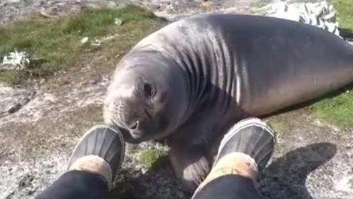 海豹抱住男子的脚嗅了嗅,一口咬上去,海豹瞬间翻了过去