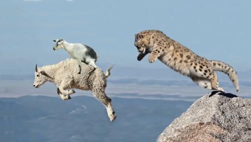 雪豹咬住岩山羊,不甘心的山羊带着雪豹跳下悬崖,同归于尽