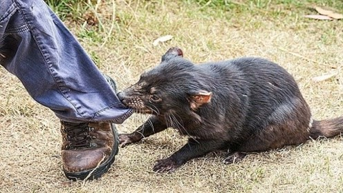 """世界上最凶狠的动物,能直接咬穿平头哥,被当地人称为""""恶魔"""""""