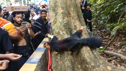 """爬在树上的""""树狗"""",一出现就被围观,我国广西也有它"""