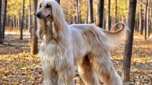 为什么国内不能养阿富汗犬?别被它的外表所迷惑,网友:厉害了