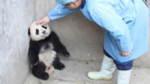 大熊猫墙角窝着生闷气,不料奶爸上前安慰反被打,接下来大家忍住别笑