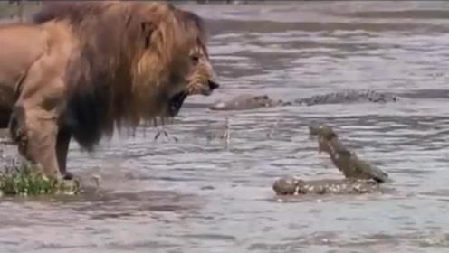 """雄狮向鳄鱼发出""""死亡警告"""",看看鳄鱼吓成什么样,王者就是王者"""