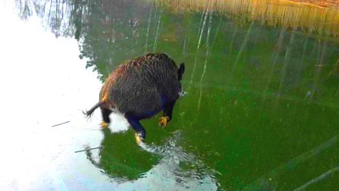 野猪不小心误入冰湖,每走一步就摔一跤,镜头拍下搞笑一幕!