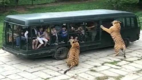 游客坐观光车进入老虎园,到底是人看虎,还是虎看人