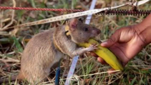 """人人喊打的老鼠在柬埔寨竟然变成""""英雄鼠""""!排雷挽救成千上万条性命"""