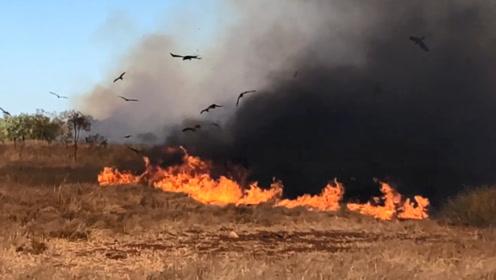 澳大利亚惊现猛禽纵火事件,鸟叼着燃烧的树枝去焚山,不可思议